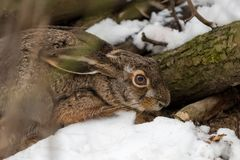 Hare in the woodland stock images