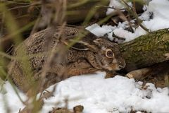 Hare in the woodland stock photos