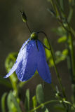 Harebell Royalty Free Stock Image
