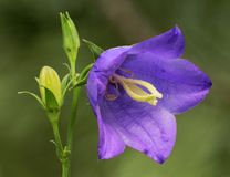 Harebell flower Royalty Free Stock Images