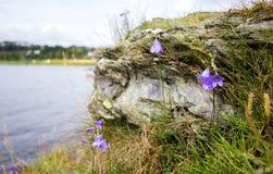 Harebell flower on rock. Nature Stock Photos