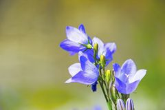 Harebell kwiat Obraz Stock