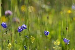 Harebell (rotundifolia Campanula) στοκ φωτογραφίες με δικαίωμα ελεύθερης χρήσης