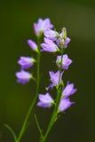 harebell wildflowers Στοκ Εικόνες