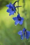 Harebell wildflowers kampanula Obraz Stock