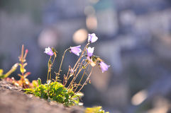 Harebells. Flowers lit by evening sun Stock Photography