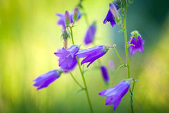 Harebells (Campanula) wild flowers Stock Photography