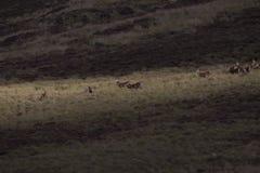 Harem av röda hjortar under brunstig säsong Arkivfoto