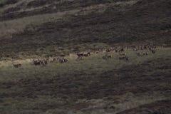 Harem av röda hjortar under brunstig säsong royaltyfria bilder