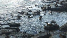 Harem del leone marino alle plaze del sud di isla nel galapagos stock footage