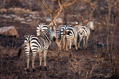 Harem della zebra delle pianure Immagine Stock