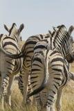 Harem della zebra delle pianure che cammina a partire dalla macchina fotografica Fotografia Stock