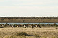 Harem of guanacos in Peninsula Valdes Royalty Free Stock Photos