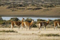 Harem of guanacos in Peninsula Valdes Stock Photos