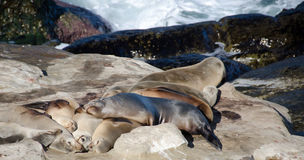 Harem of large sea lion near Point La Jolla. San Diego Stock Photography