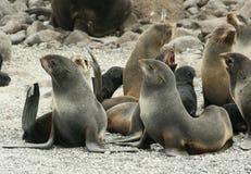 Harem of northern fur seal (Callorhinus ursinus) stock photos