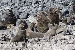 Harem of northern fur seal rookery on a hot day Stock Images