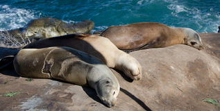 Harem of sea lion near Point La Jolla. San Diego Stock Images