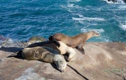 Harem of sea lion near Point La Jolla. San Diego Royalty Free Stock Photo