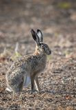 Hare disambiguation,. Hares disambiguation, and jackrabbits are leporids belonging to the genus Lepus. Hares are classified in the same family as rabbits royalty free stock photo