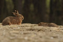 Hares on a Field Stock Images