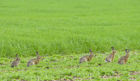 Hares Stock Photos
