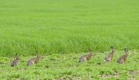 Hares. Five hares on meadow - Lepus europaeus Stock Photos