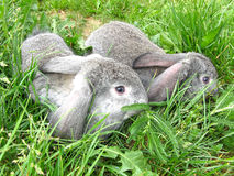 Hares in the grass Royalty Free Stock Images