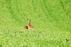 Hares on green field Royalty Free Stock Photography