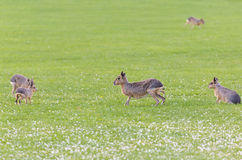 Hares on a meadow Stock Images