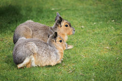 Hares on a meadow Stock Image