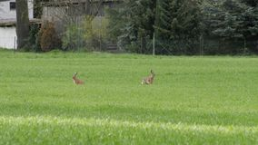 Hares. Two hares on the field Stock Photo