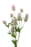 Haresfoot Clover (Trifolium Arvense) on White Background Stock Images