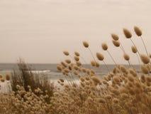 Harestail trawa przy plażą Zdjęcie Royalty Free