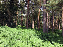 Harewood North Yorkshire Forest. With ferns in foreground Stock Photography