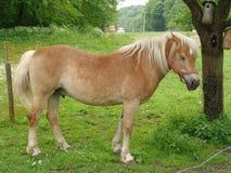 harflinger koni Obrazy Stock