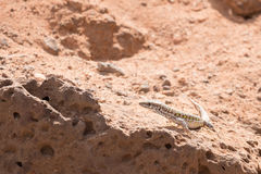 Haria lizard. Standing on a hot rocky ground in sunshine Royalty Free Stock Image