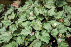 Hariang Bodas (dryand isopteran de la begonia) Foto de archivo libre de regalías