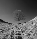Harians wall. The famous robin hood tree on the roman wall in northumberland Stock Image