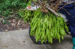 Haricot amer frais ou haricot de groupe tordu des gens du pays de la Thaïlande Photo stock