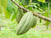 Haricot de cacao Images libres de droits