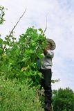 Haricot de cueillette de fermier photographie stock