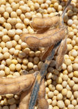 Haricot de soja après moisson photographie stock libre de droits
