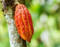 Haricot mûr de cacao sur le bois Image libre de droits