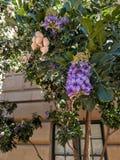 Haricot ou Texas Mountain Laurel de peyotl Image libre de droits
