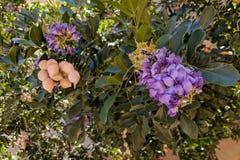 Haricot ou Texas Mountain Laurel de peyotl Photos stock
