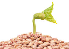 Haricot sprout Stock Images