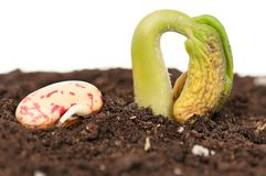 Haricot sprout. Young haricot sprout with haricot beans on the organic soil over white Royalty Free Stock Photo