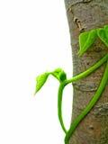 Haricot vert Image libre de droits