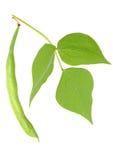 Haricot vert Image stock